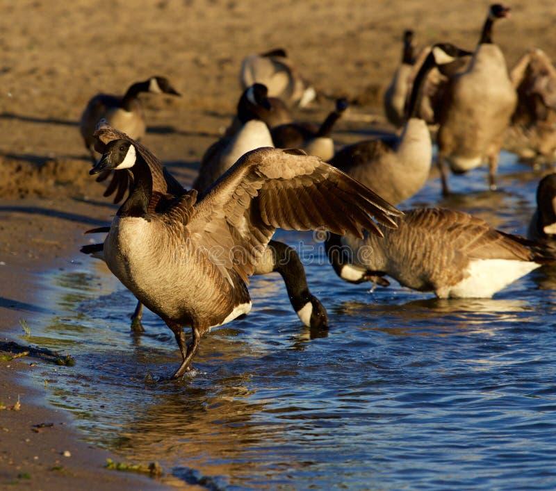 De mooie ganzen van Canada op het strand royalty-vrije stock foto