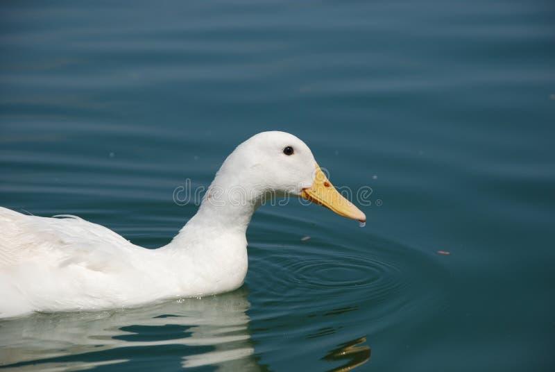 De mooie ganzen zwemmen in de vijver stock fotografie