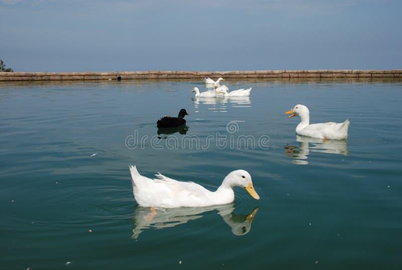 De mooie ganzen zwemmen in de vijver stock foto's