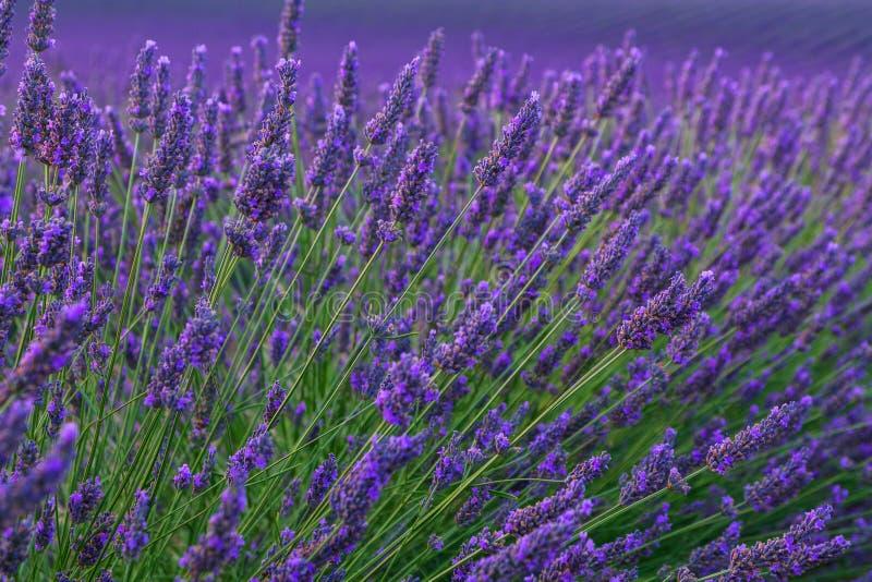 De mooie gebieden van de kleuren purpere lavendel dichtbij Valensole, de Provence stock fotografie