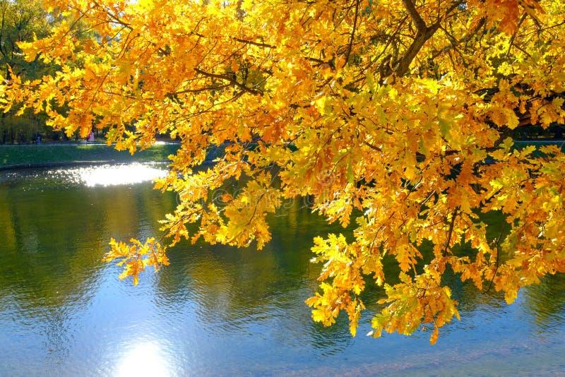 De mooie geeloranje eiken bladeren hingen over het water in het de herfstpark stock afbeelding