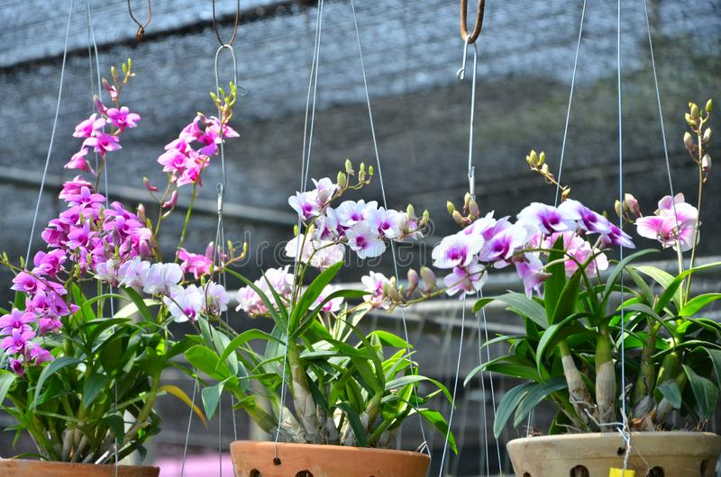 De mooie gekleurde dendrobiumorchidee bloeit potten in boomwinkel stock foto's