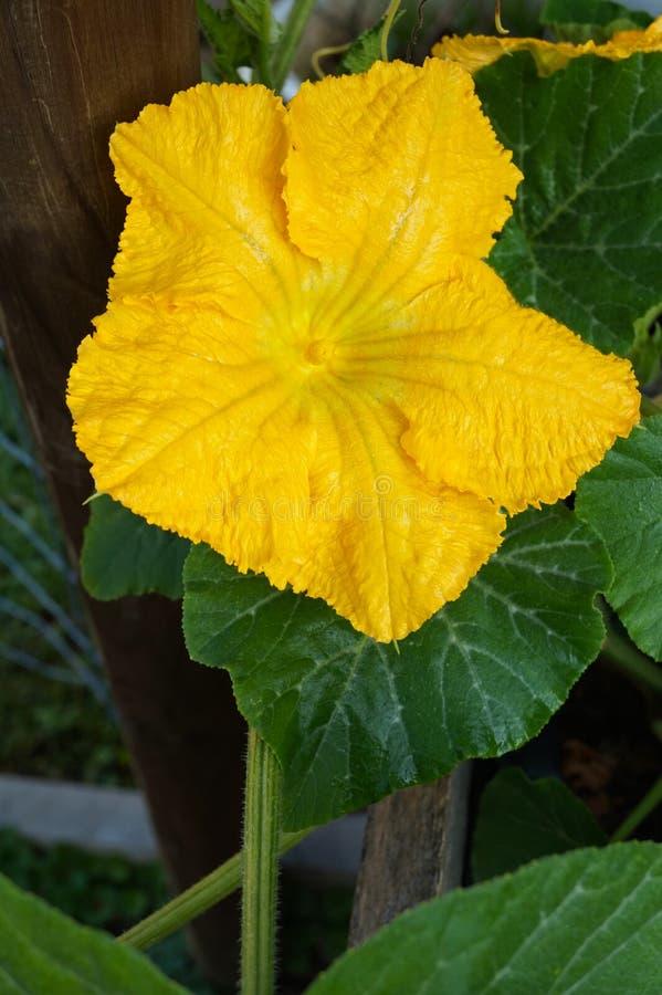 De mooie gele bloem van de muscateldruifpompoen pompoenenbloesem, macrofotografie stock afbeelding