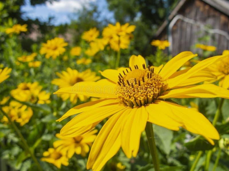 De mooie gele bloemen, sluiten omhoog royalty-vrije stock afbeeldingen