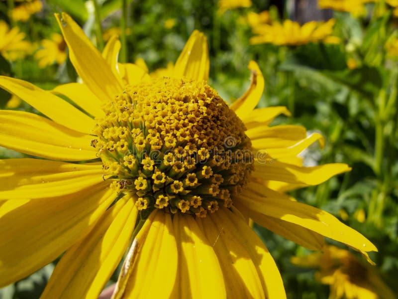 De mooie gele bloemen, sluiten omhoog stock fotografie