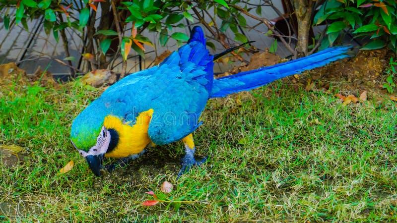 De mooie gele en blauwe vogel van de macorepapegaai royalty-vrije stock foto