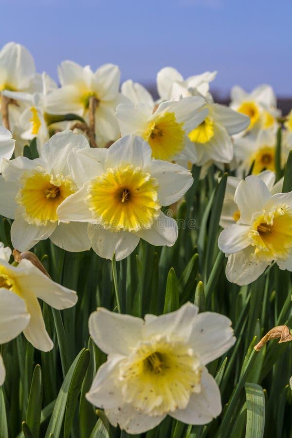 De mooie gele narcis bloeit de dichte achtergrond van de upwith blauwe hemel stock fotografie