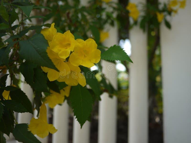 De mooie gele trompetbloemen zijn bloeiend in een verse groene tuin stock foto