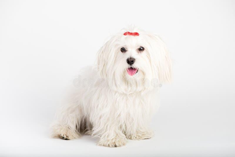 De mooie gelukkige hond van het bichon Maltese puppy zit frontaal stock fotografie