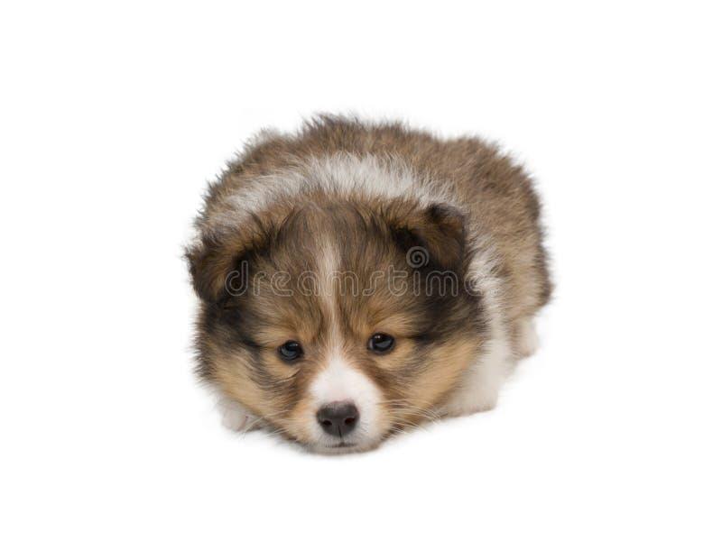 De mooie gelukkige hond van het sheltiepuppy stock fotografie