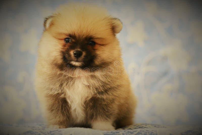 De mooie gelukkige Pomeranian-puppyhond zit frontaal stock foto