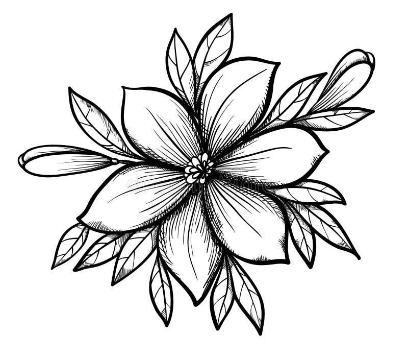 De mooie grafische tak van de tekeningslelie met bladeren en knoppen van de bloemen. vector illustratie
