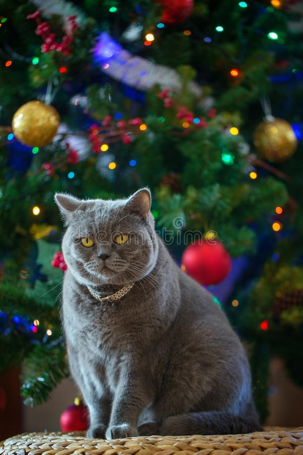 De mooie grijze Britse shorthairkat in een zilveren kraag zit op de achtergrond van de Kerstboom royalty-vrije stock fotografie