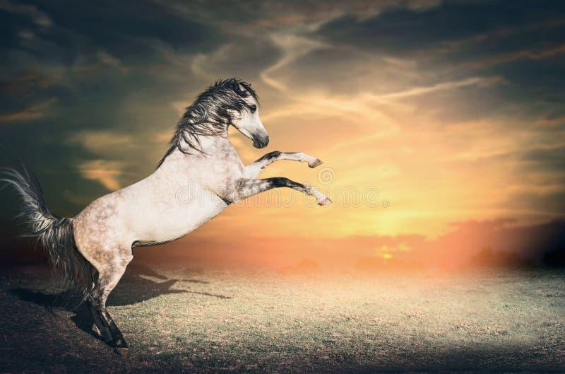 De mooie grijze paardhengst neemt eerst van de grond op zijn twee voorbenen toe bij zonsonderganghemel royalty-vrije stock foto