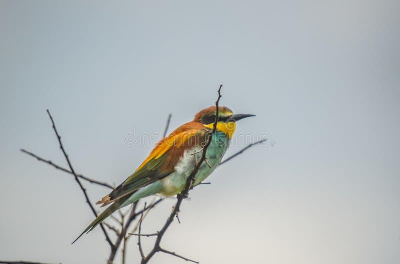 De mooie groene bij-eter streek op een boom zonder bladeren neer tijdens een Afrikaanse Safari stock foto's