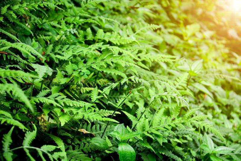 De mooie groene struisvogelvaren verlaat gebladerte in tropisch bos met zonsondergangachtergrond, de achtergrond van het bladpatr stock afbeeldingen