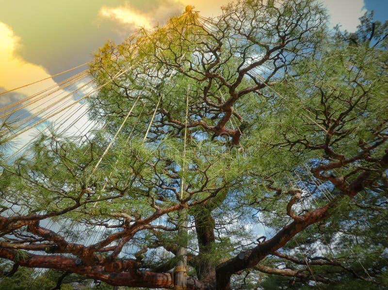 De mooie grote boom van de bonsaipijnboom in kenroku-Engelse Tuin, stock foto's