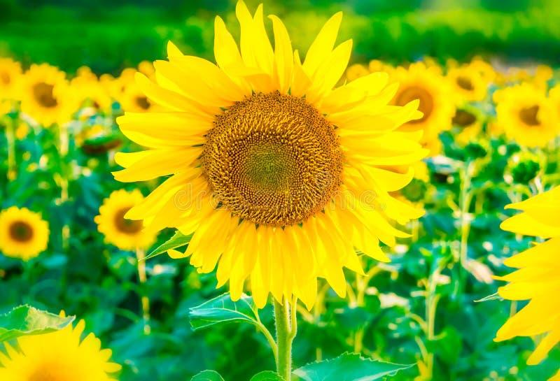 De mooie heldere achtergrond van het zonnebloemgebied met één grote bloeiende gele bloem in nadruk stock afbeelding