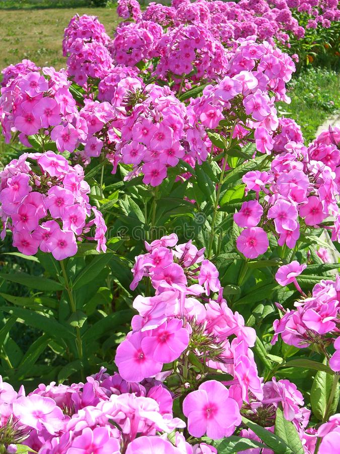 De mooie heldere roze bloemenflox in de tuin in de zomer verfraait het bloembed stock foto