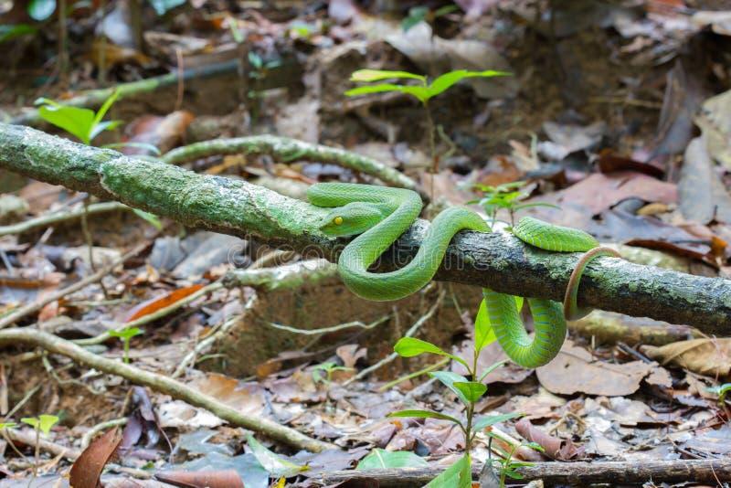De mooie heldergroene slang van kleuren wit-Lipped Pit Viper wrappe royalty-vrije stock foto