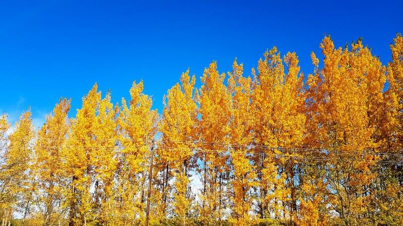 De mooie de herfst gele bomen en de blauwe de aardinstallatie en de bladeren van hemel levendige kleuren vallen royalty-vrije stock afbeelding
