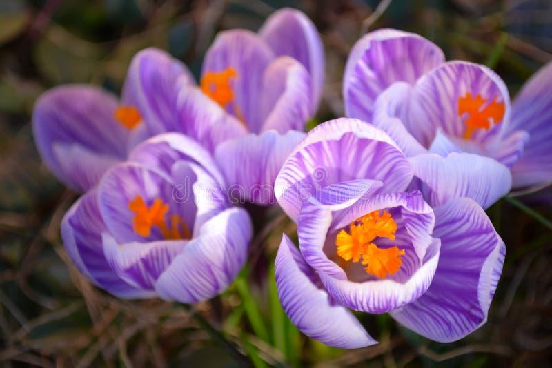 De mooie het bloeien purpere en witte gestreepte macro van de de lentekrokus royalty-vrije stock afbeelding