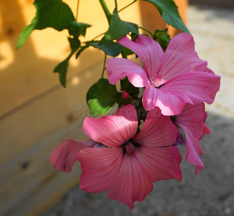 De mooie Hibiscusbloemen op houten omheiningsachtergrond sluiten omhoog stock foto