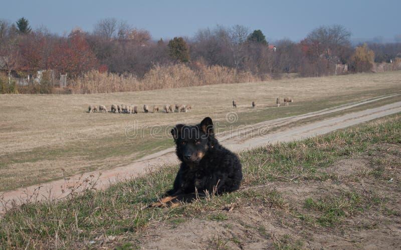 De mooie Hond van de Herder stock afbeelding