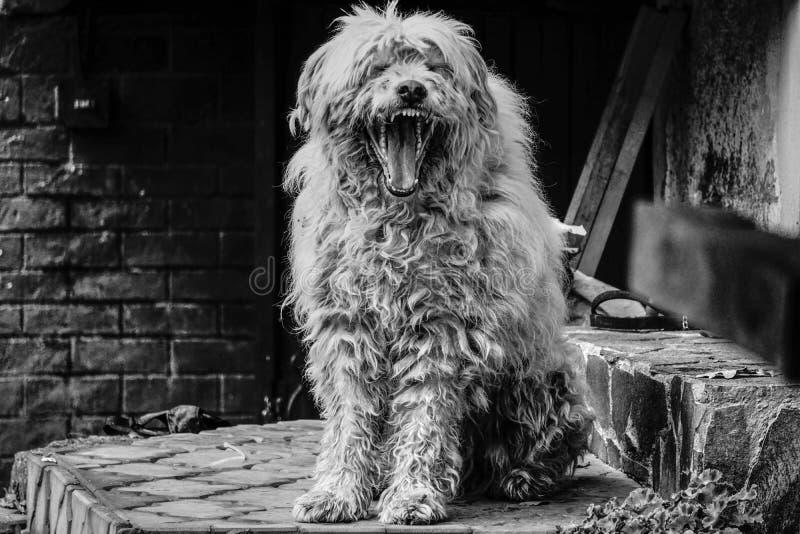 De mooie Hond van de Herder royalty-vrije stock fotografie