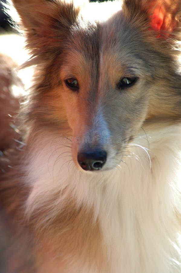 De mooie Hond van de Sabelmarter Sheltie stock foto's