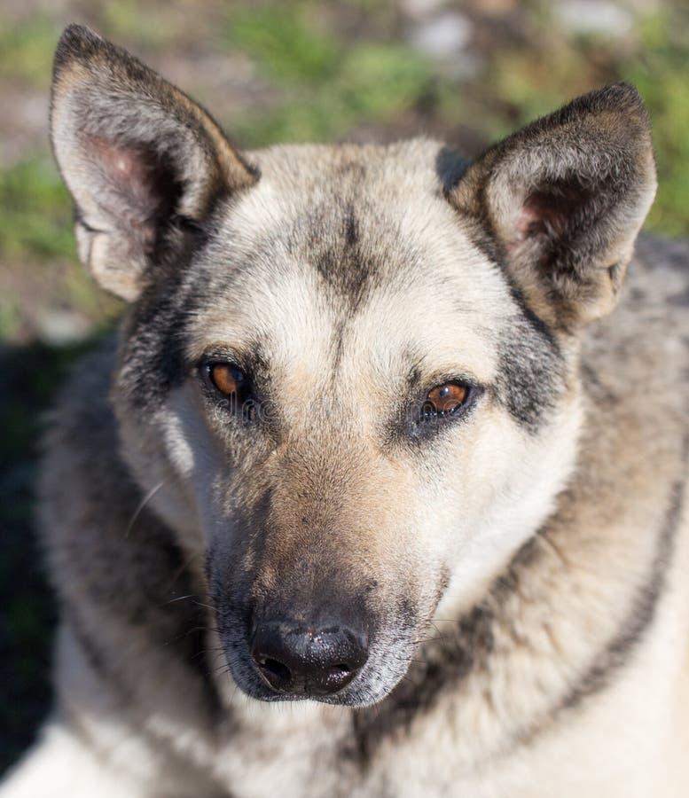 De mooie Hond van de Herder stock afbeeldingen