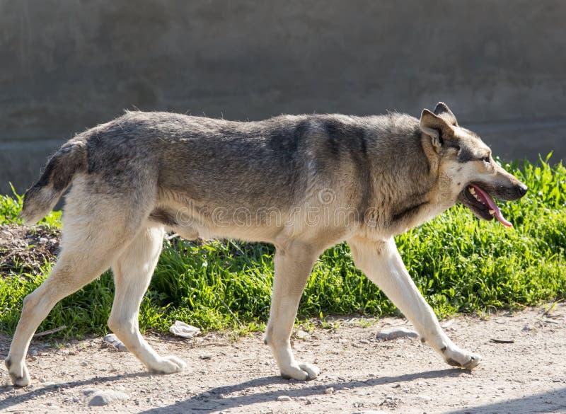 De mooie Hond van de Herder royalty-vrije stock foto
