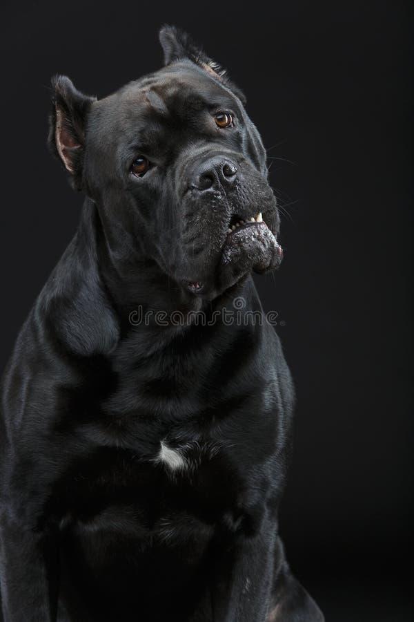 De mooie hond van rietcorso stock afbeeldingen
