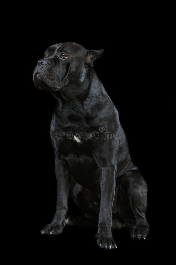 De mooie hond van rietcorso royalty-vrije stock foto