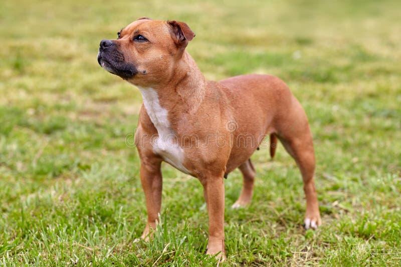 De mooie hond van Staffordshire Bull terrier ras, gemberkleur met melancholie ziet eruit, zich bevindt op groene gazonachtergrond stock foto's