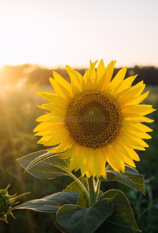De mooie jonge zonnebloem groeit op een gebied bij zonsondergang Landbouw en de Landbouw Landbouw Gewassen Gele bloemen Helianthu stock afbeelding