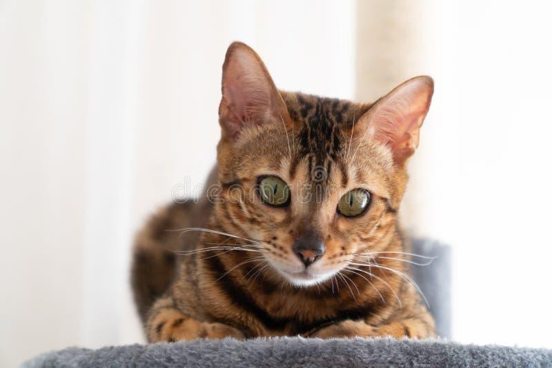 De mooie kat die van Bengalen op de krassende boom leggen royalty-vrije stock fotografie
