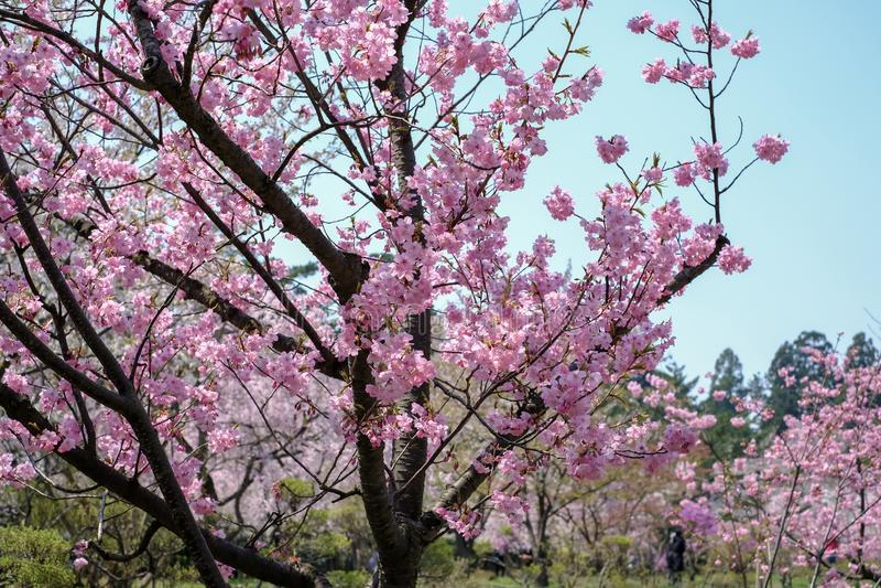 De mooie kers komt bij Hirosaki-Park, Aomori, Tohoku, Japan in de lente tot bloei stock fotografie
