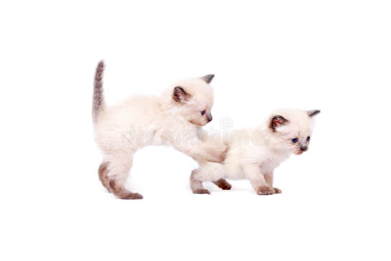 De mooie kleine siamese katjes spelen op camera op witte achtergrond Geïsoleerdj op witte achtergrond stock foto's