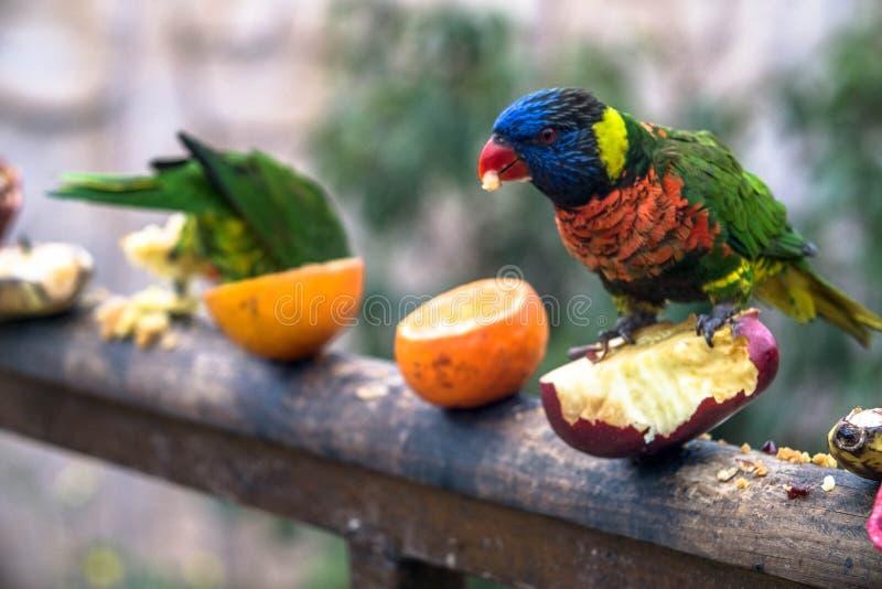 De mooie kleurrijke papegaai eet fruit royalty-vrije stock foto