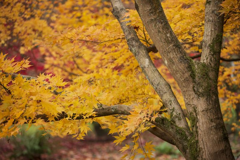 De mooie kleurrijke trillende rode en gele Japanse Esdoornbomen in het bos boslandschap van Autumn Fall detailleren in het Engels stock foto