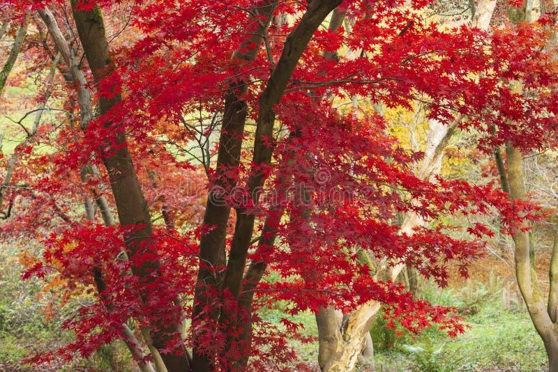 De mooie kleurrijke trillende rode en gele Japanse Esdoornbomen in het bos boslandschap van Autumn Fall detailleren in het Engels stock afbeeldingen