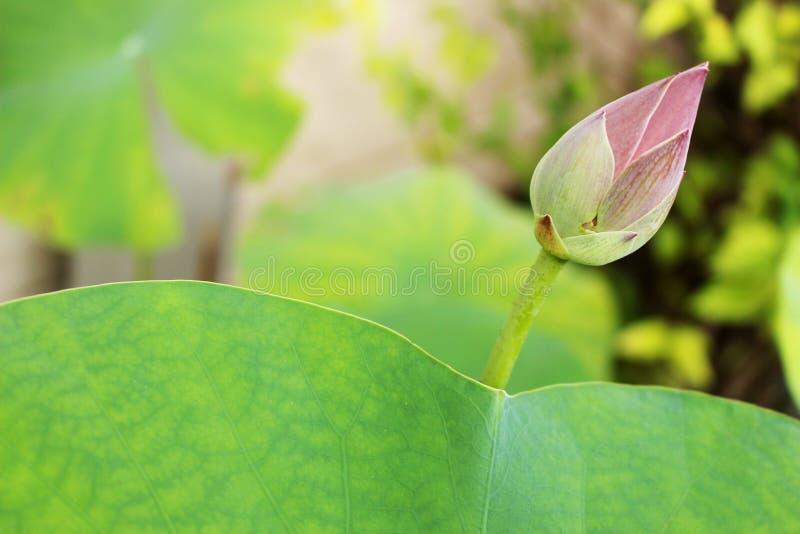 De mooie knop van een roze lotusbloembloem en een groen lotusbloemblad De achtergrond is het de lotusbloemblad en boom royalty-vrije stock foto's
