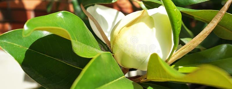 De mooie knop van de magnoliabloem op een boom met groene bladeren op de huistuin Het concept van de de lentezomer met witte magn royalty-vrije stock afbeeldingen