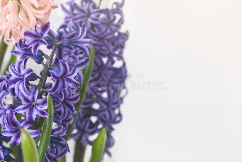 De mooie lente bloeit blauwe en roze hyacinten Lichtgrijze achtergrond De vakantie van de lentepasen De ruimte van het kaartexemp stock fotografie