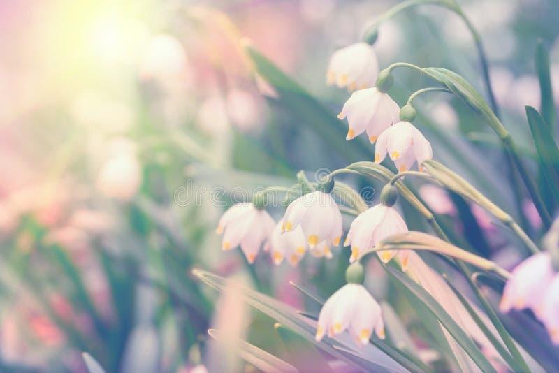 De mooie de lente wilde Sneeuwvlok bloeit Leucojum-vernum in het bos, in zonlicht, macro De zachte achtergrond van de nadrukaard  stock foto's