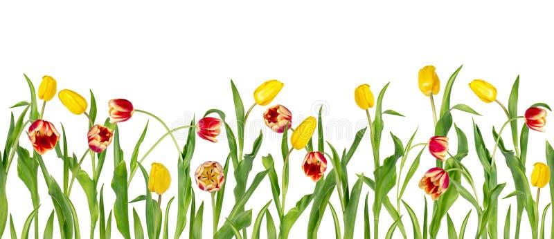 De mooie levendige rode en gele tulpen op lange stammen met groene bladeren schikten in naadloze rij Geïsoleerdj op witte achterg vector illustratie