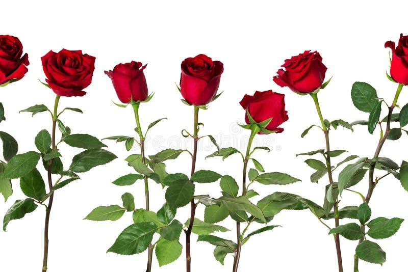 De mooie levendige rode rozen op lange stammen met groene bladeren schikten in naadloze rij Geïsoleerdj op witte achtergrond royalty-vrije stock afbeelding