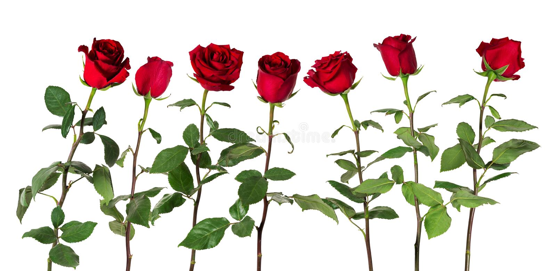 De mooie levendige rode rozen op lange stammen met groene bladeren schikten status in één rij Geïsoleerdj op witte achtergrond stock foto's