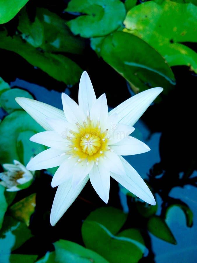 De mooie lotusbloembloem wordt gecomplimenteerd royalty-vrije stock foto